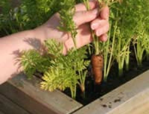 Growing Calendar for Organic Vegetables