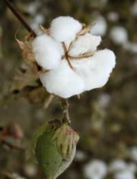 Buying Organic Cotton